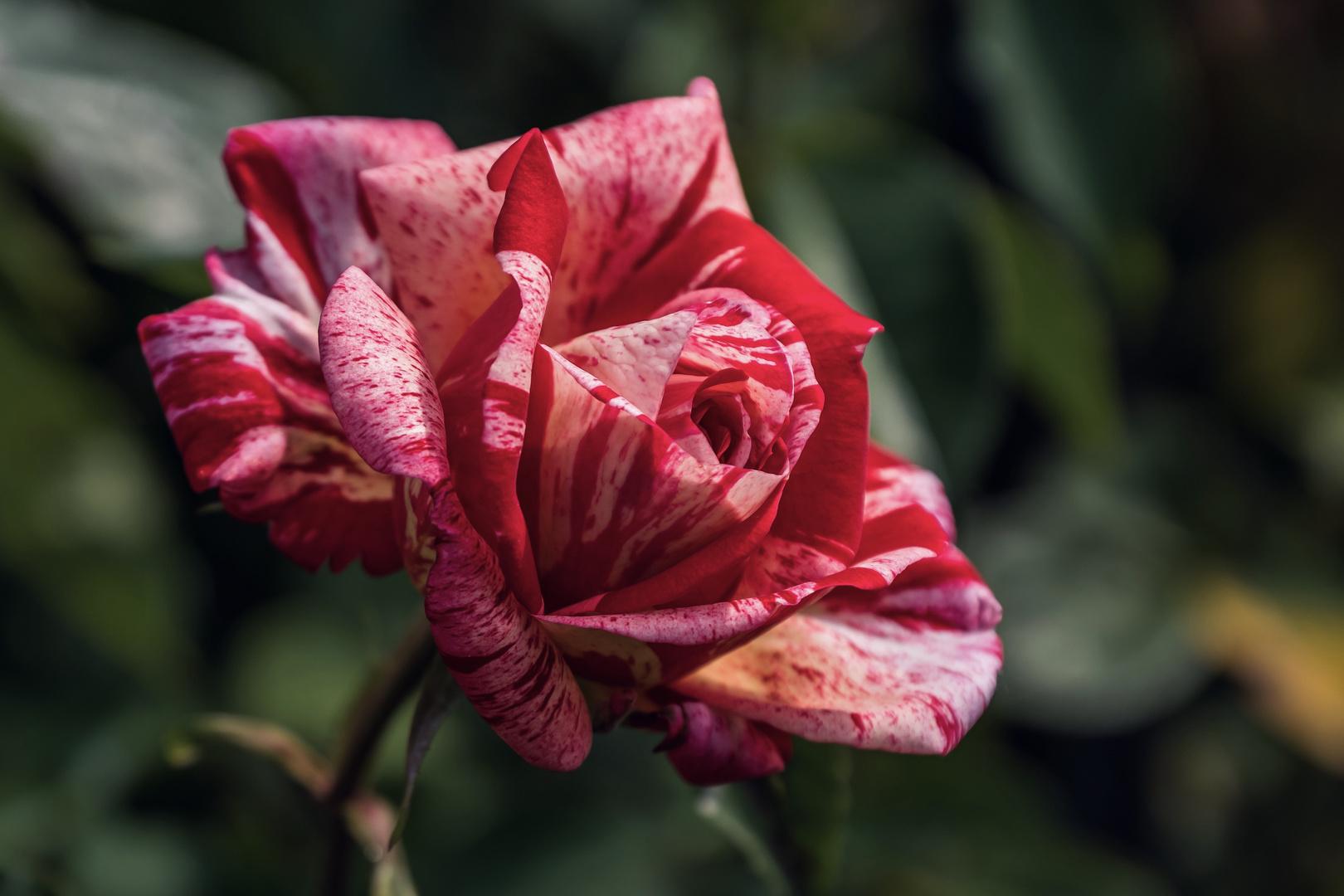 Rosa und Rot