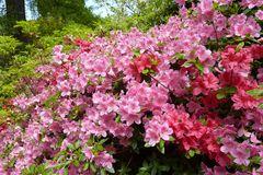 rosa und rote Azaleen im Rhododendrongarten