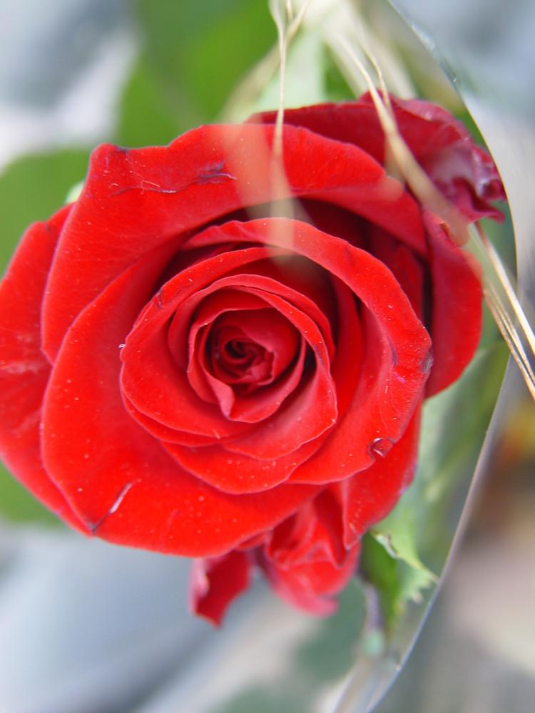 Rosa Vermella
