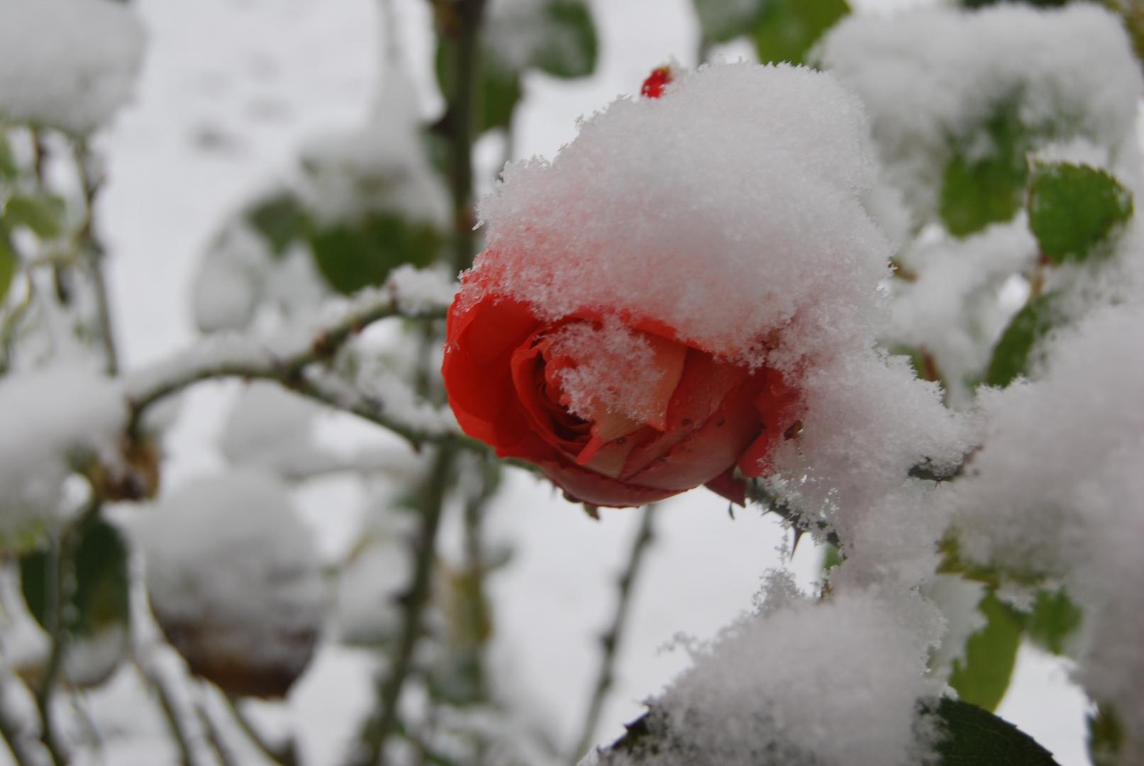 rosa y nieve
