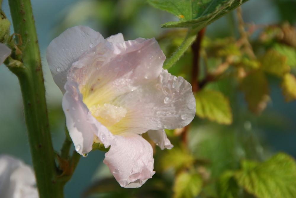 rosa-zart