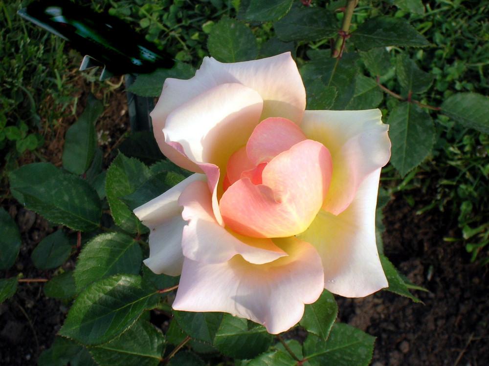 Rosa/2