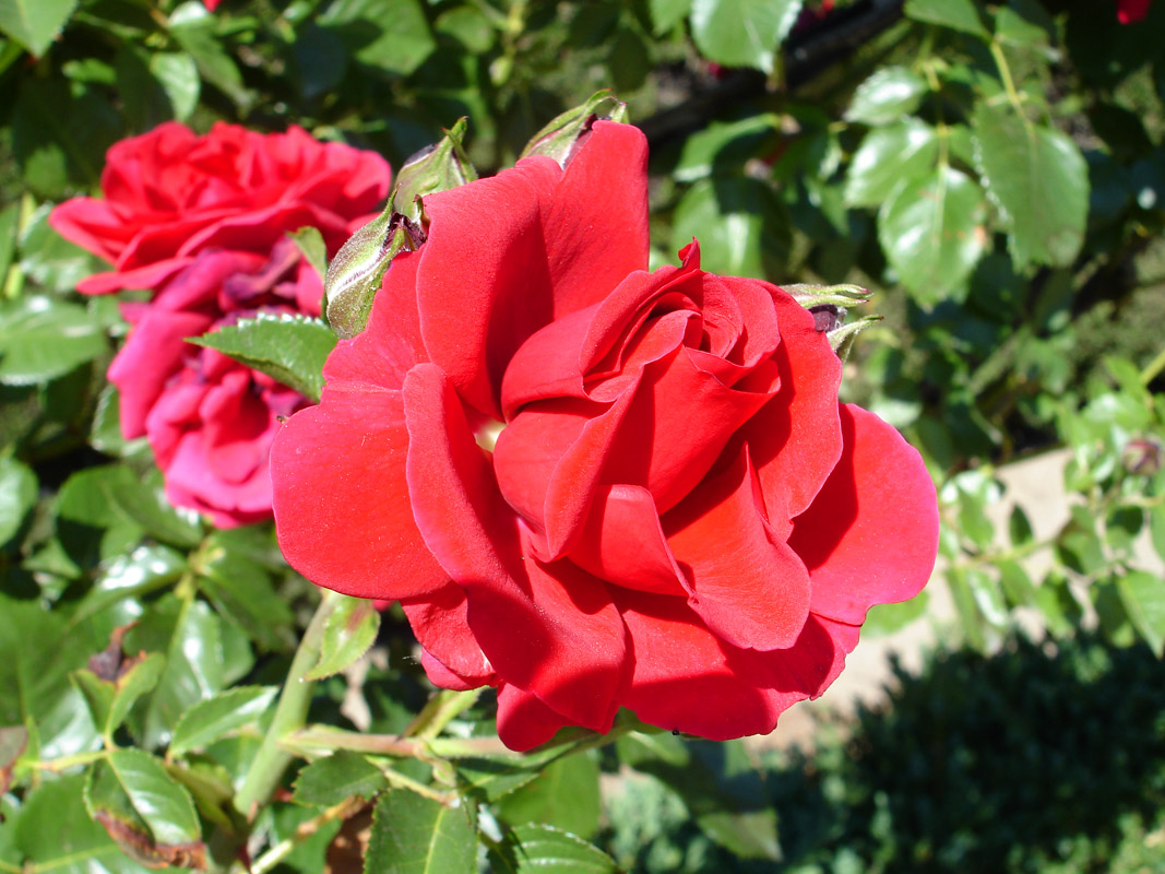 Rosa28