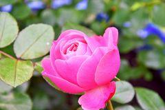 Rosaceae1