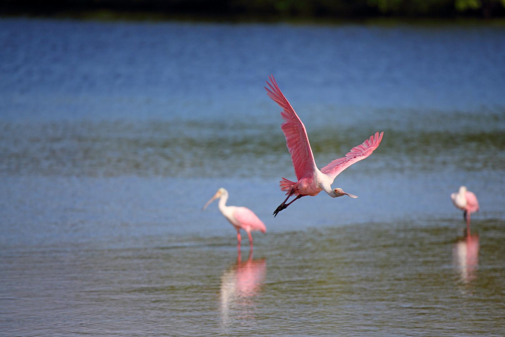 Rosalöffler auf Sanibel Island Florida
