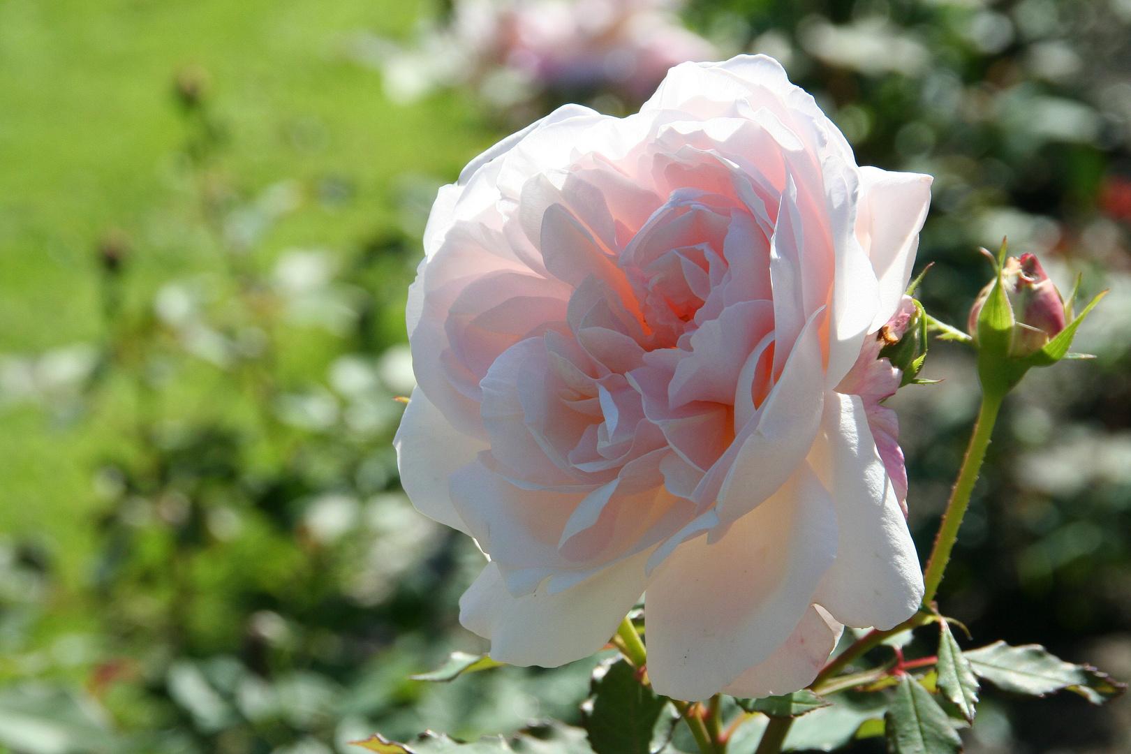 rosane Rose