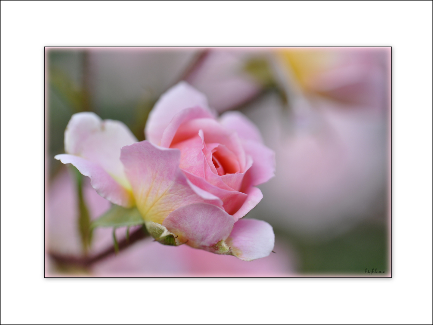 Rosarose