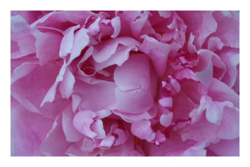 rosaroserosenrosa