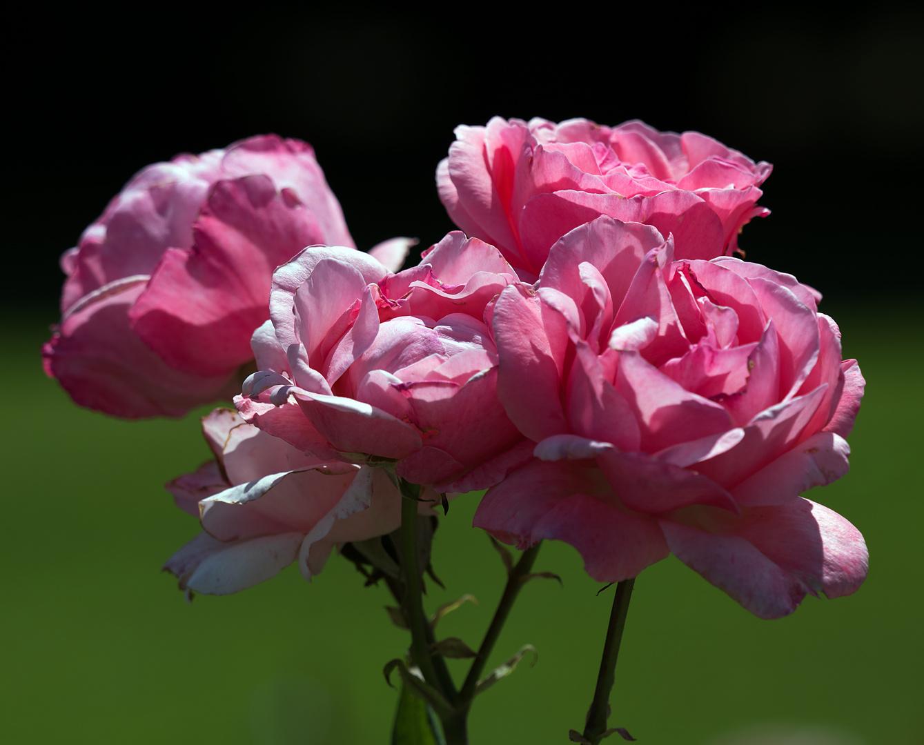 rosarosig