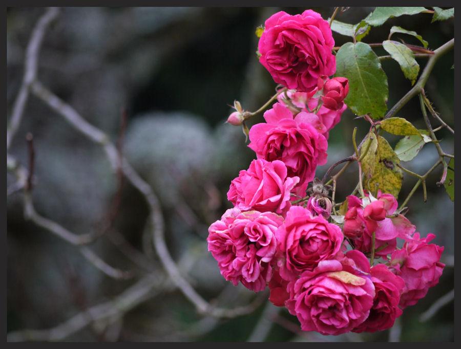 Rosarot im Grauen Morgen
