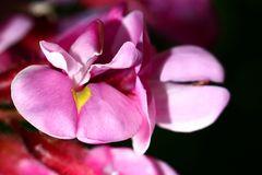 Rosarotblühende Robinie (robinia kelseyi)