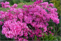Rosarote Blüemli