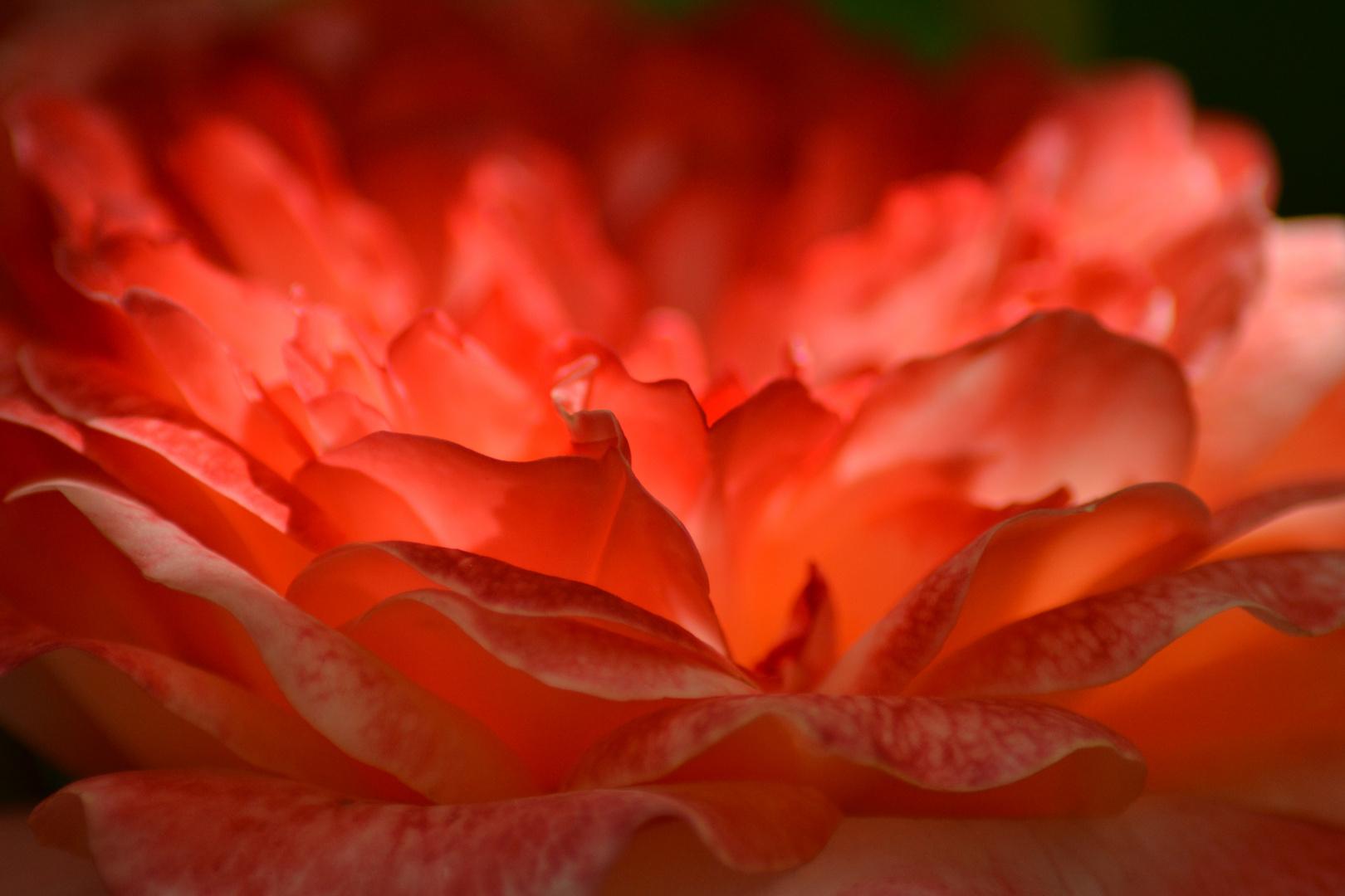 rosarote Rose