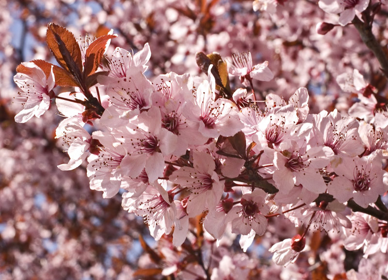 Rosaroter Blütenrausch!
