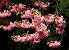 Rosaroter Blütenzauber