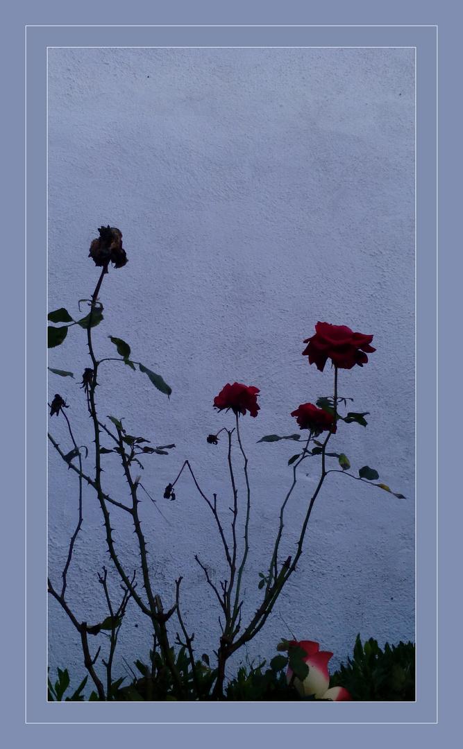 Rosas de Abril /////