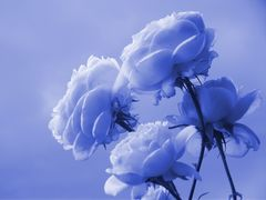 Rosas en Azul