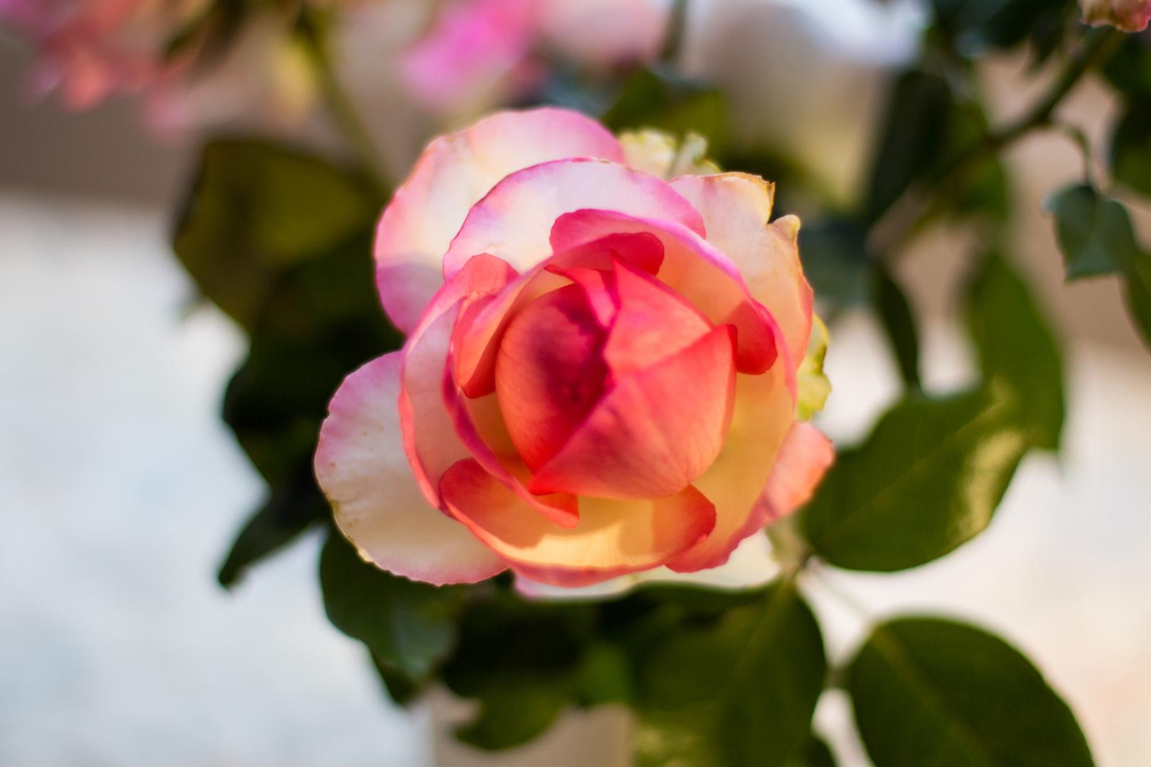 Rosas en la cocina III