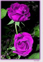 Rosas Fuxias Terciopeladas