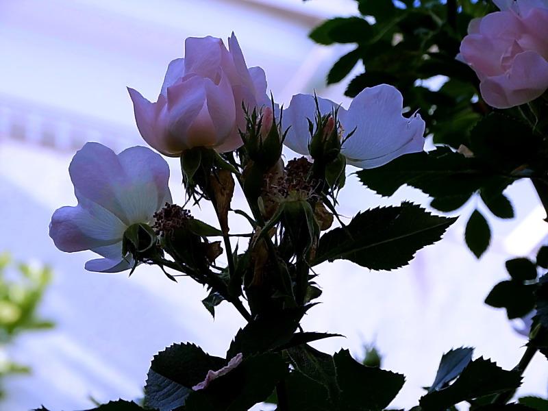 Rosas Salvajes a la caída de la Tarde