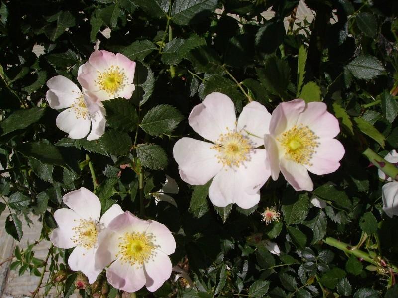 rosas silvestres