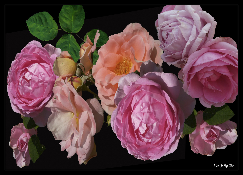 rosas sobre fondo negro