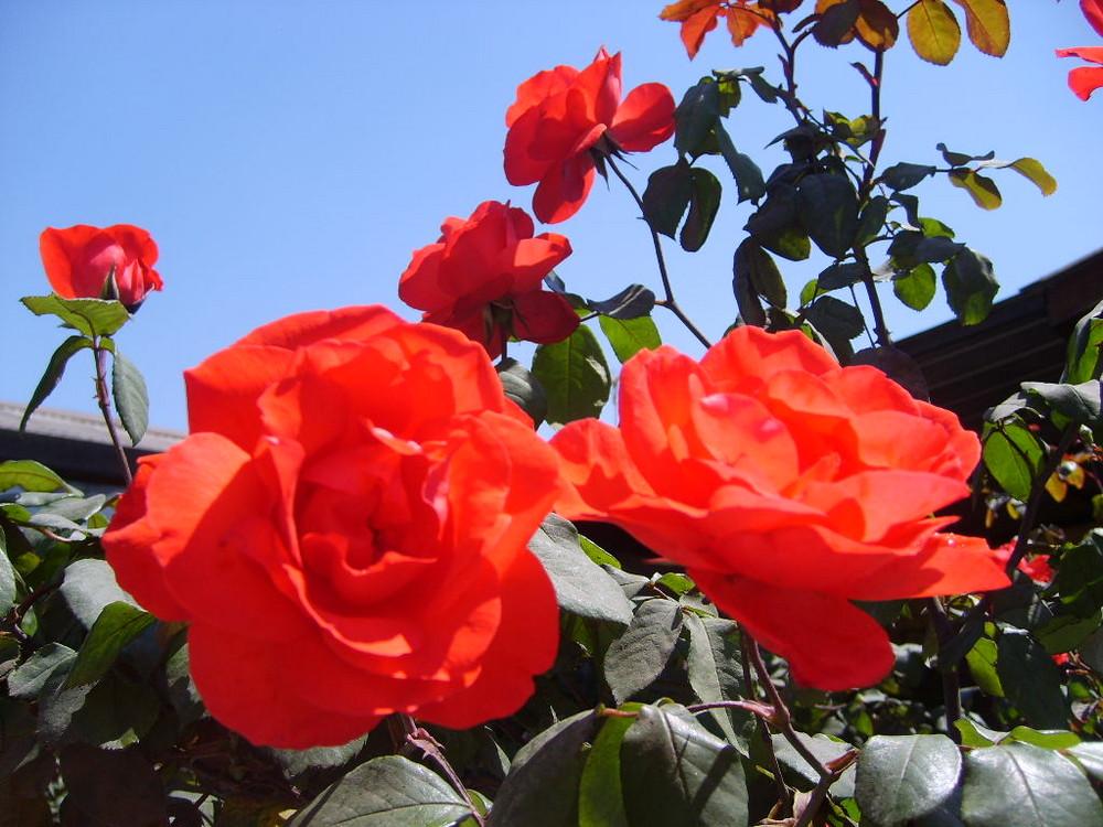 Rosas y Primavera