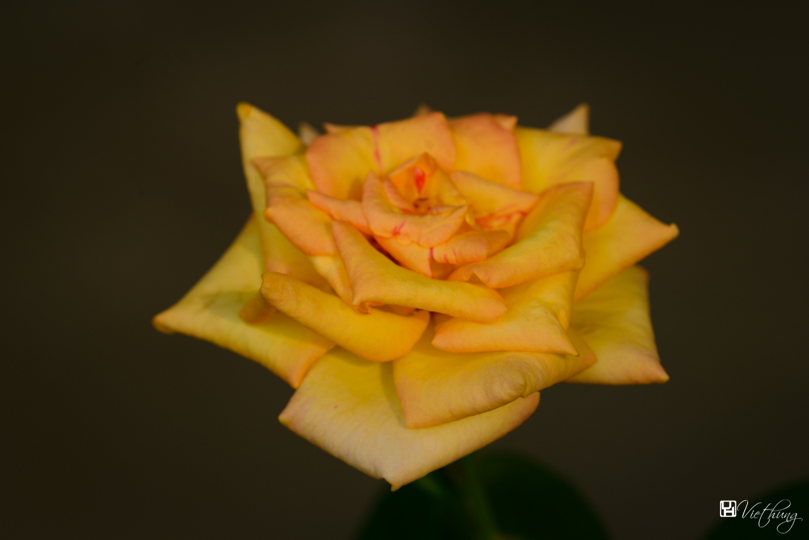Rose #14