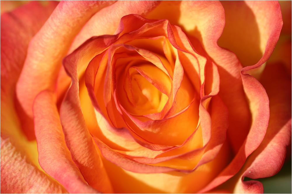 rose (15)