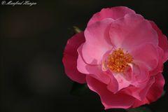 """Rose (2) - die letzten Sonnenstrahlen """"einfangen"""""""