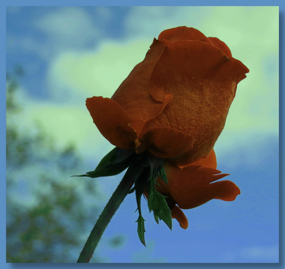 Rose (2) im starken Herbstwind,