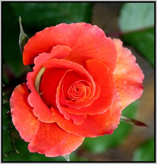 Rose 2 Juni 09