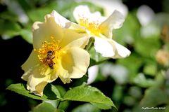 Rose 2 mit Besuch