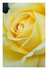 Rose-2012Fall-3