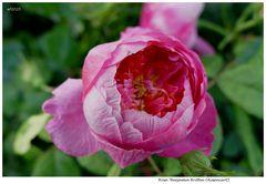 Rose 2020.105