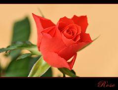ROSE -3-