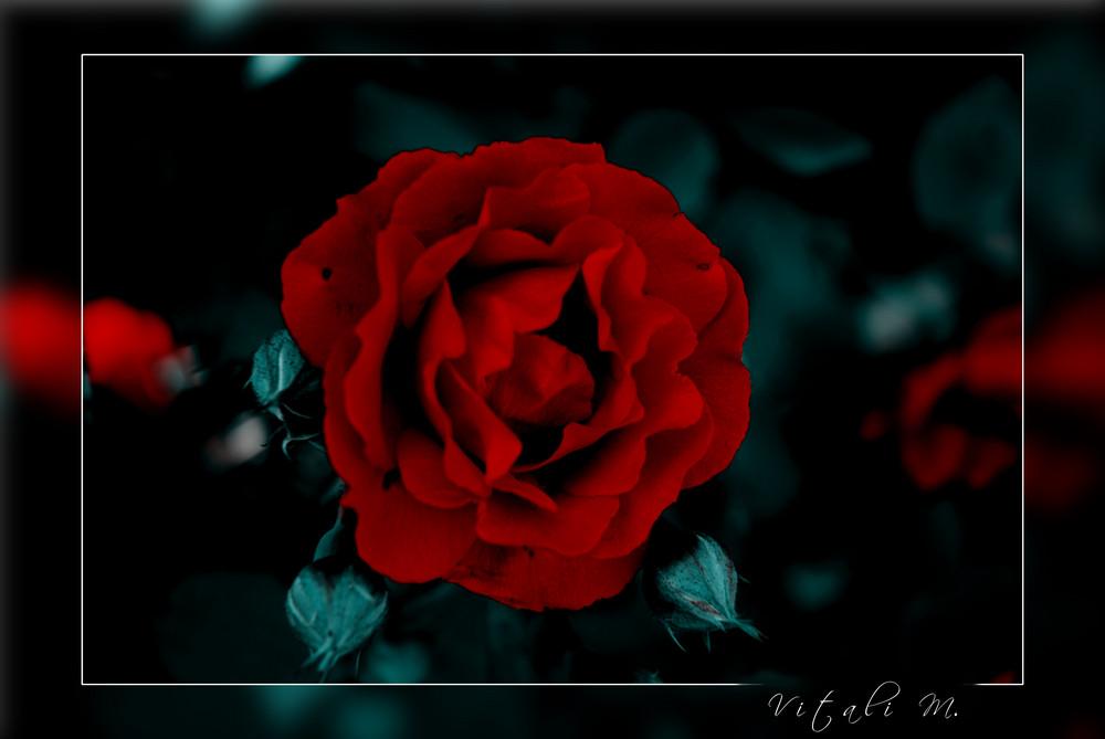 Rose 4 you