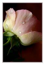 .rose.