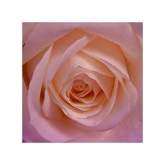 ***Rose***