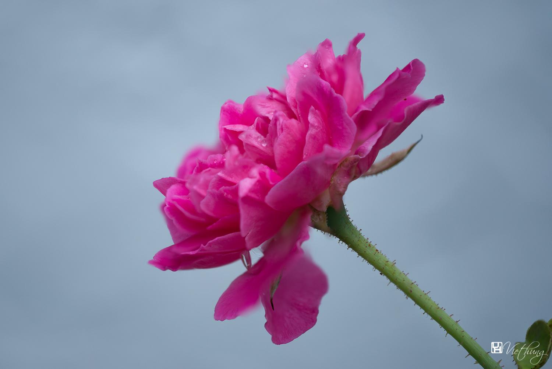 Rose #9