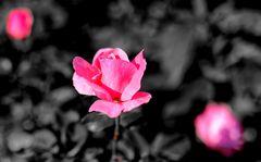 ... rosé ...