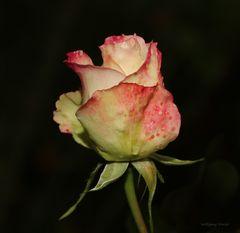 Rose.....