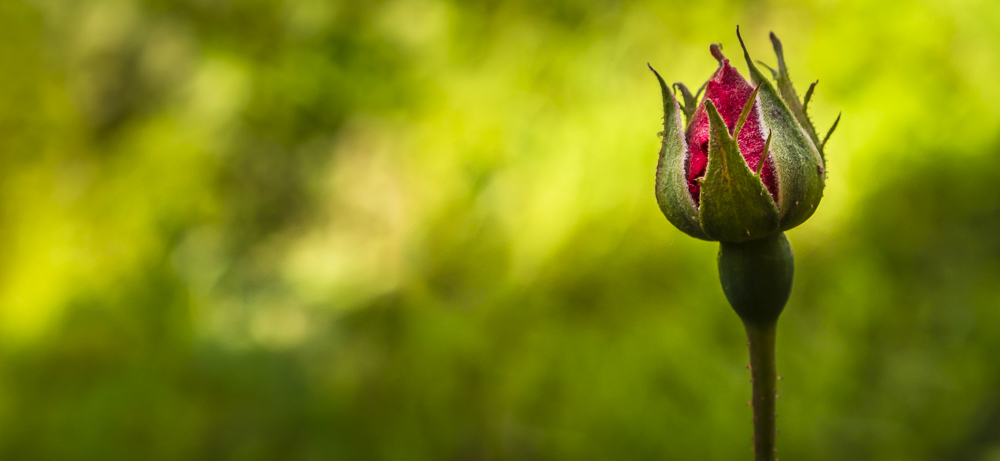 Rose About to Bloom
