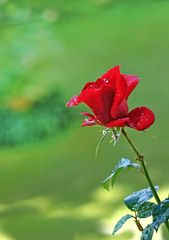 Rose after the rain...