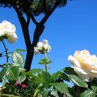 Rose al roseto / 1