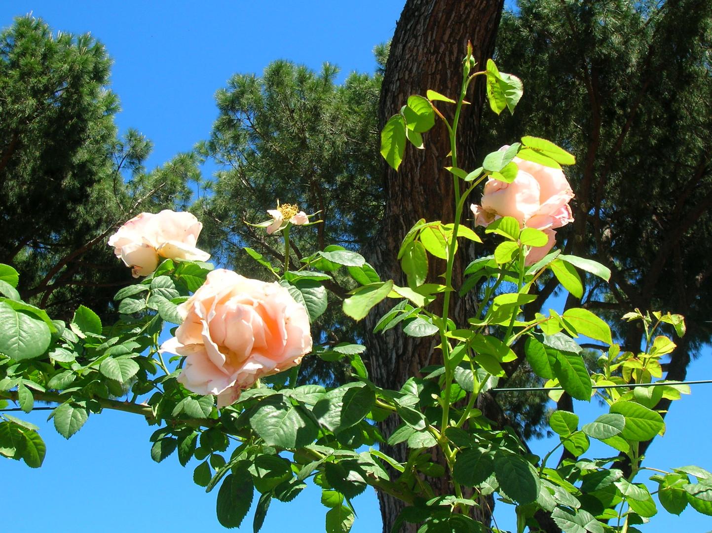 Rose al roseto/ 2