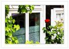 Rose am Fenster