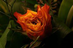 Rose am Mittwoch
