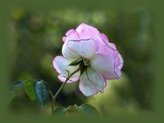 Rose am Mittwoch ...