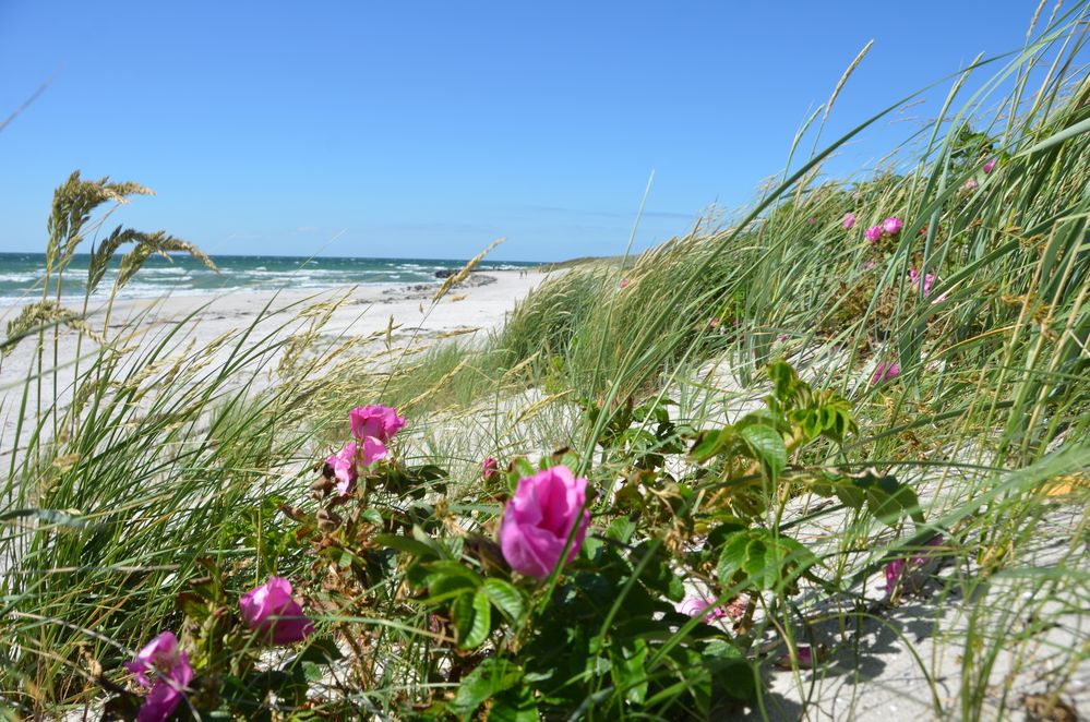 Rose am Strand